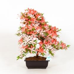 Rhododendron Indicum Ariran - Azalea - 43 cm