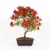 Rhododendron Indicum Kokuko-no-Tsuki - Azalea - 41 cm