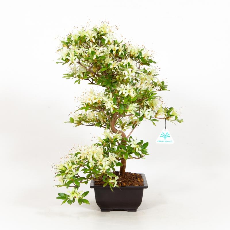 Rhododendron Indicum Senbazuru - Azalea - 46 cm