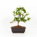 Rhododendron Indicum Yukinko - Azalea - 35 cm
