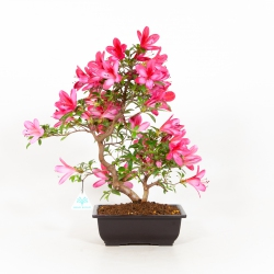 Rhododendron Indicum Benikage - Azalée - 40 cm