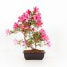 Rhododendron Indicum Benikage - Azalea - 40 cm
