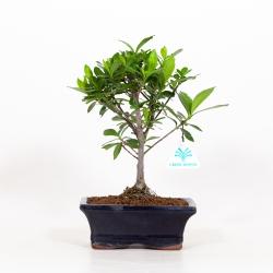 Gardenia - 25 cm