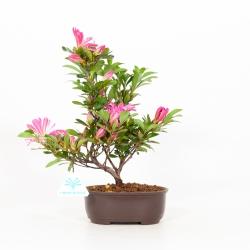 Rhododendron indicum Hanabin - Azalée - 27 cm