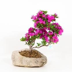 Rhododendron Indicum Hoshi-no-Kagayaki - Azalea - 42 cm