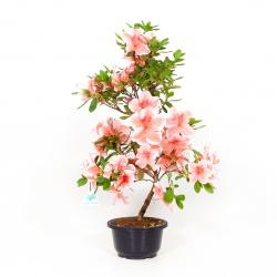 Rhododendron Indicum Kasa-no-Yuki - Azalea - 54 cm