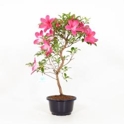 Rhododendron Indicum Asuka-no-Homare - Azalea - 49 cm