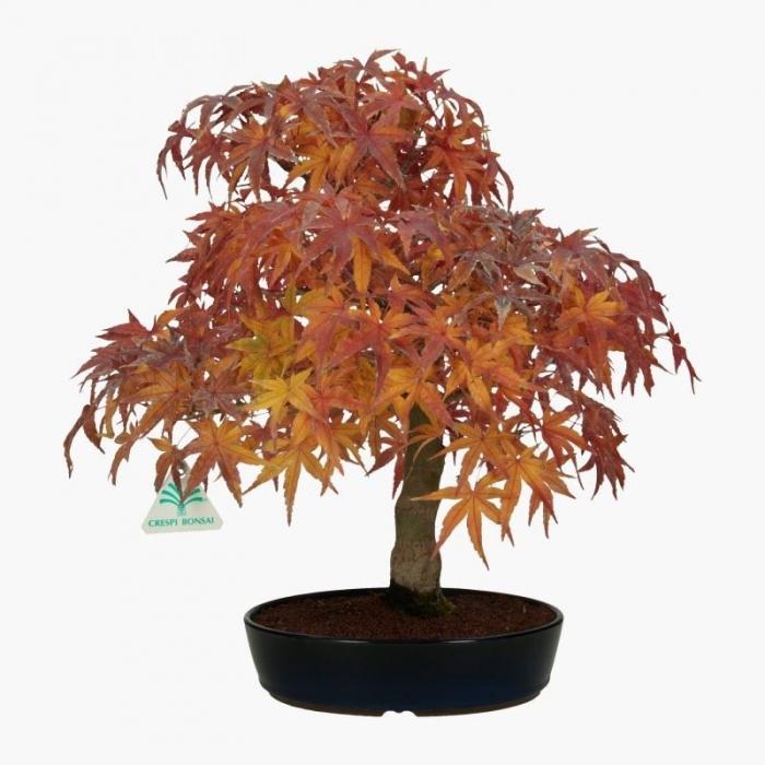 Acer palmatum - acero - 42 cm