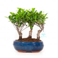 Ficus retusa - 23 cm