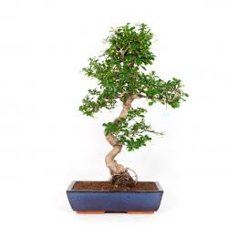 Carmona macrophylla - Pianta del tè - 65 cm