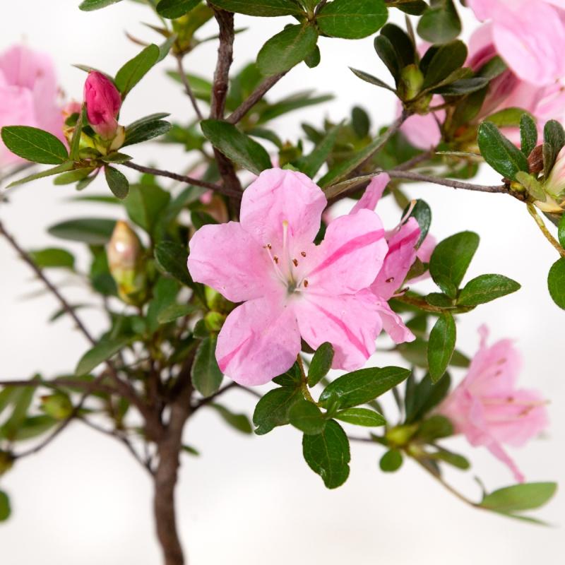 Rhododendron Indicum Tamaori-no-Haru - Azalea - 30 cm