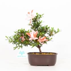 Rhododendron Indicum Hotarubi - Azalée - 21 cm