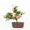 Rhododendron Indicum Hotarubi - Azalea - 21 cm