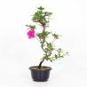 Rhododendron Indicum Murasakibojo - Azalea - 48 cm