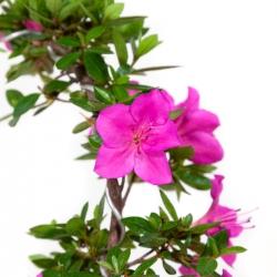 Rhododendron Indicum Hoshi-no-Kagayaki - Azalea - 28 cm