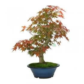Acer palmatum - acero - 69 cm