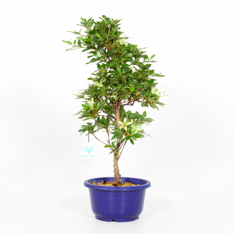Rhododendron Indicum Senbazuru - Azalea - 45 cm