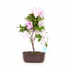 Rhododendron Indicum Kaminoyamakirin - Azalea - 29 cm