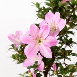 Rhododendron Indicum Nasuno - Azalea - 47 cm