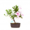 Rhododendron Indicum Nakatsu-no-Hikari - Azalea - 28 cm