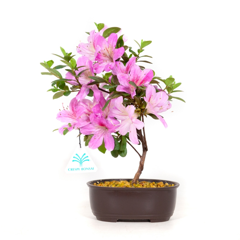 Rhododendron Indicum Shunen - Azalea - 29 cm