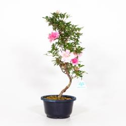 Rhododendron Indicum Kinu-no-Mai - Azalea - 46 cm