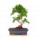 Carmona macrophylla - Tea tree - 43 cm