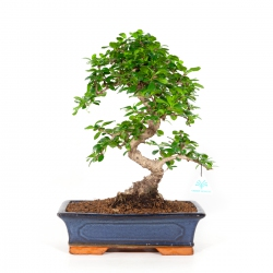 Carmona macrophylla - Pianta del tè - 43 cm