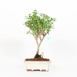 Serissa foetida variegata - Snow Rose - 31 cm