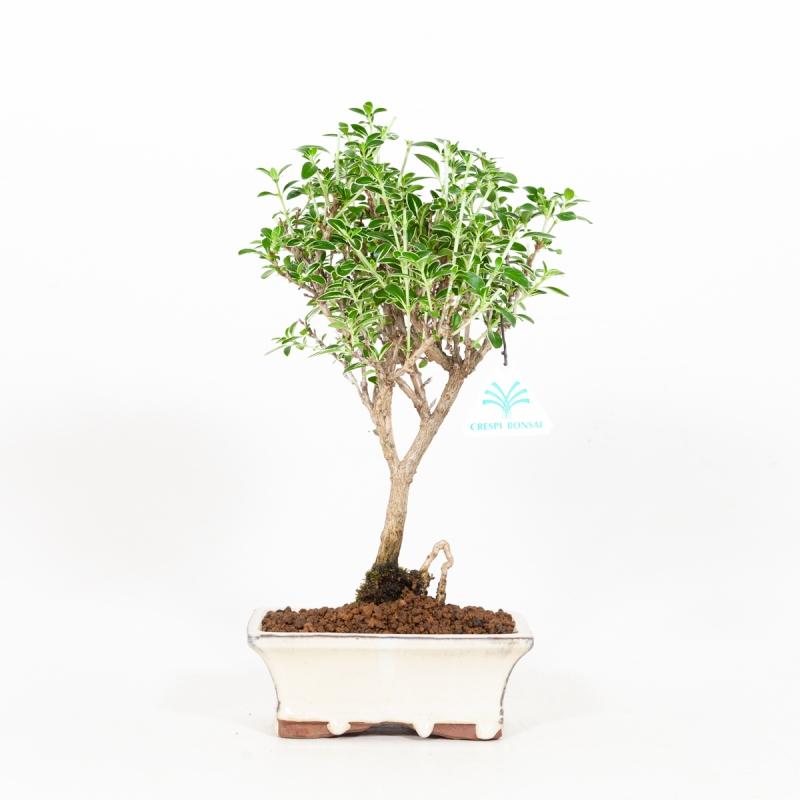 Serissa foetida variegata - Neige de juin - 31 cm