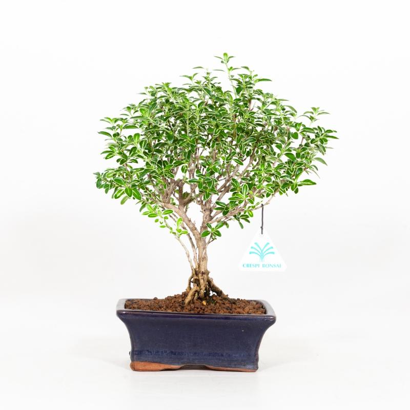 Serissa foetida variegata - Neige de juin - 29 cm