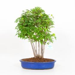 Acer buergerianum - acero - 40 cm