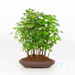Acer Buergerianum - Maple - 30 cm