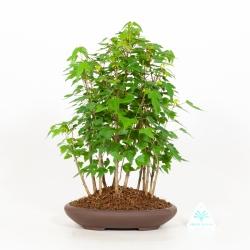 Acer Buergerianum - Acero - 34 cm