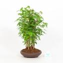 Acer Buergerianum - Érable - 34 cm