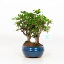 Carmona macrophylla - Tea tree - 28 cm