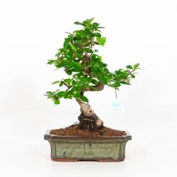 Carmona macrophylla - Pianta del tè - 38 cm