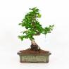 Carmona macrophylla - Tea tree - 38 cm