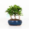 Carmona macrophylla - Pianta del tè - 21 cm