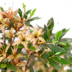 Rhododendron Indicum Chojuho - Azalea - 32 cm