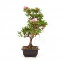 Rhododendron Indicum Suisei-no-Kagayaki - Azalea - 40 cm