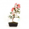Rhododendron Indicum Hanatsuzuri - Azalea - 43 cm