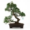 Juniperus chinensis - Ginepro - 48 cm