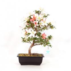 Rhododendron Indicum Hanatsuzuri - Azalea - 41 cm