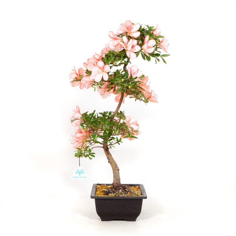Rhododendron Indicum Yata-no-Kagami - Azalea - 52 cm
