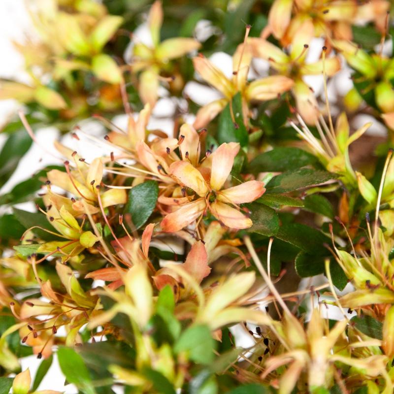Rhododendron Indicum Senbazuru - Azalea - 55 cm