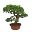 Juniperus chinensis - Ginepro - 57 cm