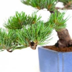Pinus pentaphylla - Pin à cinq aiguilles - 32 cm