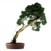 Juniperus chinensis - Ginepro - 68 cm