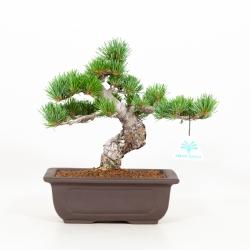 Pinus pentaphylla - Pino - 26 cm